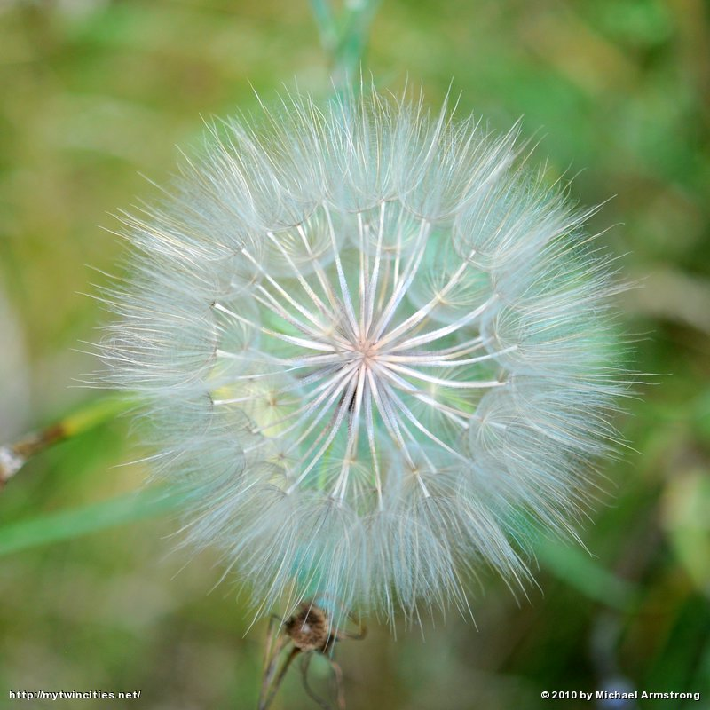 Puffball Flower